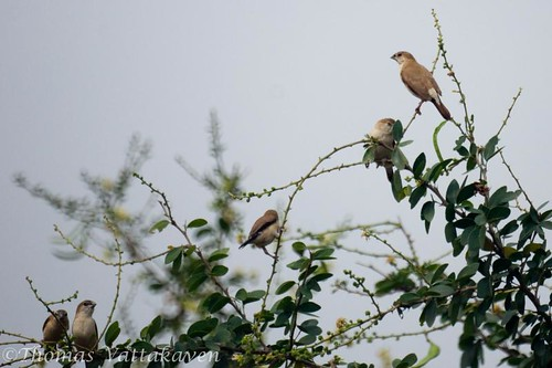 Indian Silverbill or White-throated Munia (Euodice malabarica)