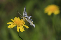 Cabbage white : About to take off ... (Clement Tang ** Busy **) Tags: autumn nature butterfly feeding wildlife australia victoria dandelion takeoff pierisrapae cabbagewhite closetonature concordians natureselegantshots candlebarkpark