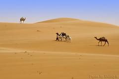 Waiting for my baby (TARIQ-M) Tags: texture landscape sand waves desert ripple dunes camel ripples saudiarabia hdr app       canonef70200mmf4lusm    canon400d          tariqm   tariqalmutlaq kingofdesert 100606169424624226321postsnajd12sa
