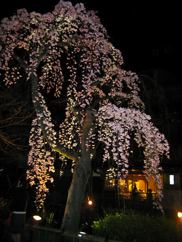 Sakura at Gion