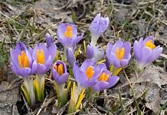 April 1st, 2011 - Crocuses Arrive (Ron Hay) Tags: flower spring purple crocus