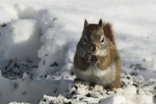 Red Squirrel at the Feeders (2 of 10).jpg