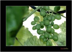 Grapes _Still Virgin EXPLORED # 394 Dt 02  Apr  2011