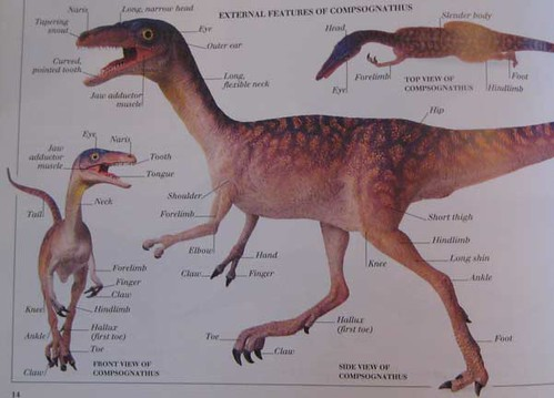 Eyewitness Visual Dictionary of Dinosaurs, Compsognathus model