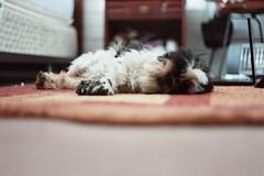 (whachadoin) Tags: dog color film analog shihtzu praktica lupe prakticamtl3 pentacon50mm18