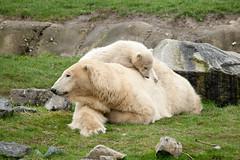 2011-04-05-10h33m14.272P0907 (A.J. Haverkamp) Tags: zoo rotterdam blijdorp polarbear vicks ijsbeer dierentuin diergaardeblijdorp olinka httpwwwdiergaardeblijdorpnl canonef100400mmf4556lisusmlens dob06122010
