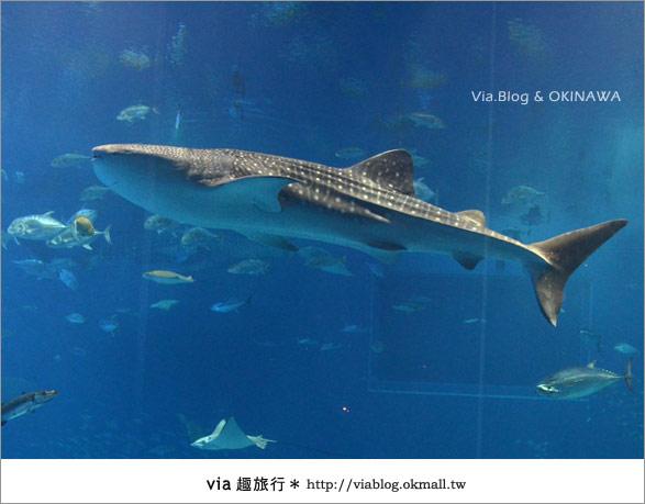 【沖繩景點】美麗海水族館~帶你欣賞美麗又浪漫的海底世界!25