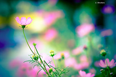 Taste the Rainbow (Daifuku Sensei) Tags: pink flowers toronto nature geotagged nikon bokeh cosmos d300 spadinaavenue smctakumar135mmf25 supertaku