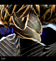 Feather Abstract (flosspot) Tags: brown white abstract macro texture lines grey pattern colours purple vibrant curves smooth feathers feather line colourful layered sculptured challengeyouwinner canong10 lynettecoates agcgsweepwinner ispywinner