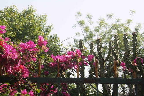 bougainvillea in india