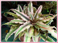 Cryptanthus bivittatus 'Pink Starlite' (Starfish Plant or Earth Star), seen in the neighbourhood