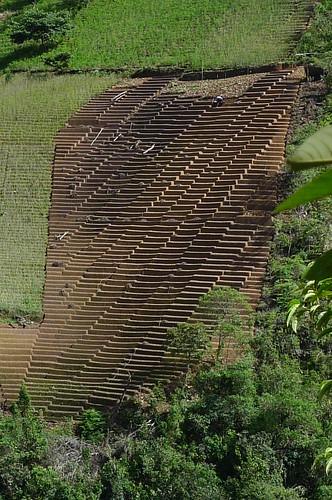 Coca Field - Chulumani, Bolivia