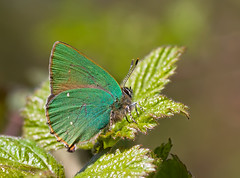 First Greenie of 2011! (Greenwings Wildlife Holidays) Tags: green butterfly insect lepidoptera hairstreak greenhairstreak greenwings mattberry callophrysrubi butterflyconservation photocontesttnc11 greenwingsco