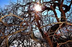 Crooked Bush in Colour (Martin Smith - Having the Time of my Life) Tags: bw snow canada monochrome spring nikon aspens melt saskatchewan halford crookedbush 18200vr d7000