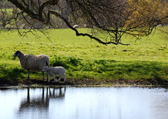 Sheep waterhole (Mrs S.A) Tags: nature field spring sheep lamb gamewinner nikond40 friendlychallenges