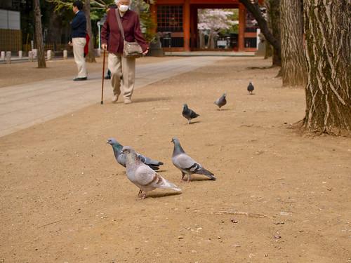 鳩もいろいろ