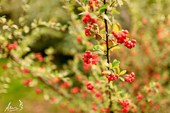 Bokeh Berries - Sydney City