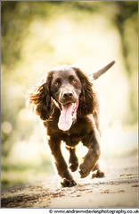 Trotting Along (andrewwdavies) Tags: dog brown tongue walking glow working dreamy backlit cockerspaniel gundog canonef70200mmf28lisusm canoneos7d andrewwilliamdavies
