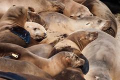 Nap Time (San Diego Shooter) Tags: sandiego lajolla sealions sealion