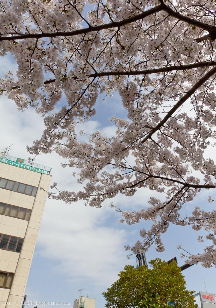 Tokyo Ryogoku Sakura 9