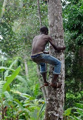 Zanzibar Coconut Tree Climber 1