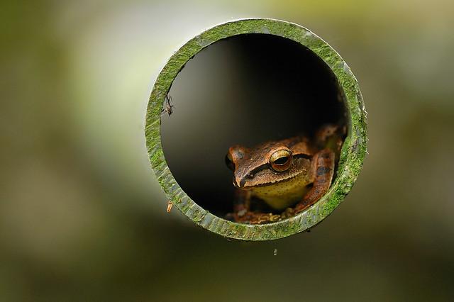 白頷樹蛙 躲水管