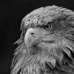 1-3 (doevos) Tags: bird czechrepublic oiseau vogel ern zeearend erne seaeagle whitetailedseaeagle whitetailedeagle seeadler haliaeetusalbicilla pygarguequeueblanche grandaigledemer europesezeearend aiglebarbu