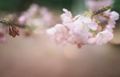 (twomeows (away...)) Tags: pink flowers flower macro canon garden soft dof bokeh pastel f14 cherryblossom 24mm