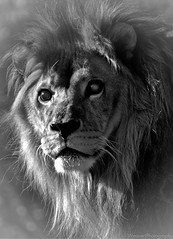 Lion (Weaver Photography) Tags: blackandwhite animals lion exoticcats juma diamondclassphotographer flickrdiamond artinbw flickrbigcats mygearandme mygearandmepremium mygearandmebronze mygearandmesilver mygearandmegold sonya580 mygearandmeplatinum