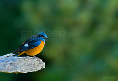 Blue capped rock thrush...