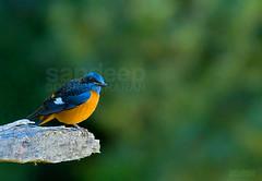 Blue capped rock thrush... (Sandeep Somasekharan) Tags: blue orange bird colors nikon nikkor 300mmf4 bluecappedrockthrush d300s sandyclix