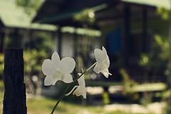 18.4.11 (obo-bobolina) Tags: orchid flower thailand salad april 2011 kohphanganhaad