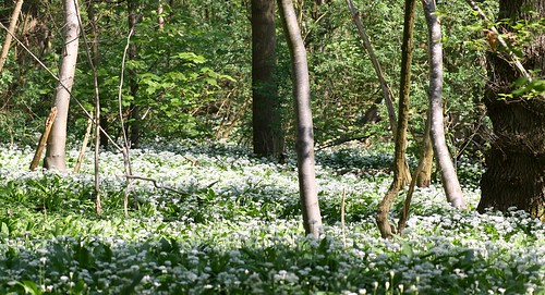 Wild garlic at Waldershare