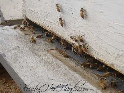 Bees orienting at main hive