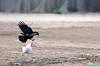 StillTwistedUp (mcshots) Tags: california usa bird beach birds trash neck coast losangeles stock flight strangle socal plasticbag crow mcshots twisted