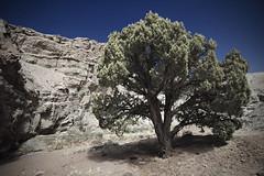 Cottonwood (ashergrey) Tags: tree hiking hike cottonwood southernutah sanrafaelswell slotcanyon dingcanyon dangcanyon dingdangloop