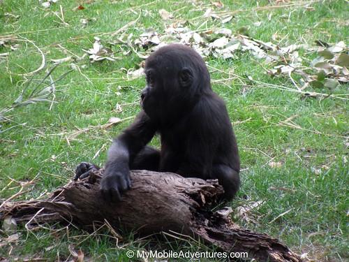 IMG_5315-WDW-DAK-baby-gorilla-log