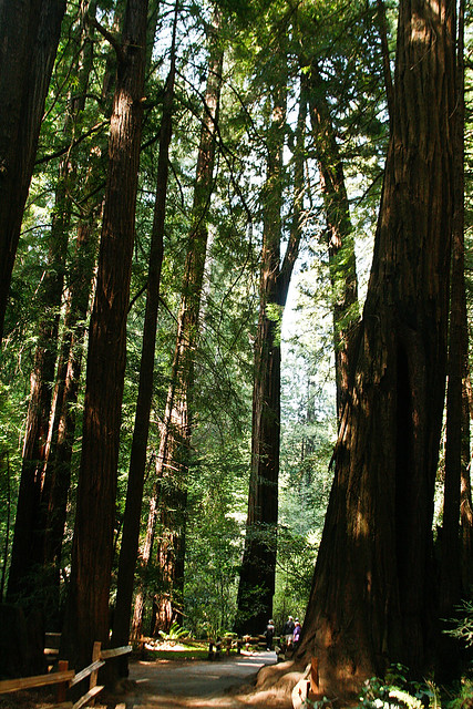 Path through Muir Woods
