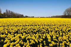 This field is really... yellow ( Boeyen ) Tags: flowers netherlands yellow bulb landscape nederland fields geel bloemen noordwijk gele bollenstreek bollenvelden