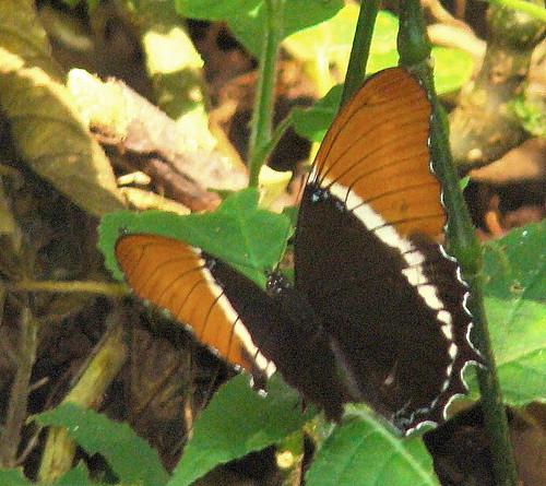 Rusty-tipped Page, Siproeta epaphus