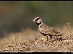 The Ashy-crowned Sparrow-Lark (Eremopterix griseus) (vaidyarupal) Tags: wild india nature birds avian gujarat ahmedabad lark alaudidae ashycrownedsparrowlark eremopterixgriseus finchlark vaidyarupal sigma150500mm canon1000d rupalvaidya