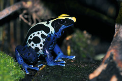 Dendrobates Tinctorius Tafelberg (Drriss) Tags: macro frogs herpetology dendrobatidae poisondartfrogs taxonomy:order=anura flickrestrellas taxonomy:genus=dendrobates taxonomy:binomial=dendrobatestinctorius taxonomy:family=dendrobatidae taxonomy:species=tinctorius taxonomy:superfamily=dendrobatoidea taxonomy:subfamily=dendrobatinae