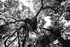 Tree Hugger (Thomas Hawk) Tags: california bw usa unitedstates unitedstatesofamerica treehouse southbay menlopark natureshand silberstudiostv penninsulaschool photowalk06262010