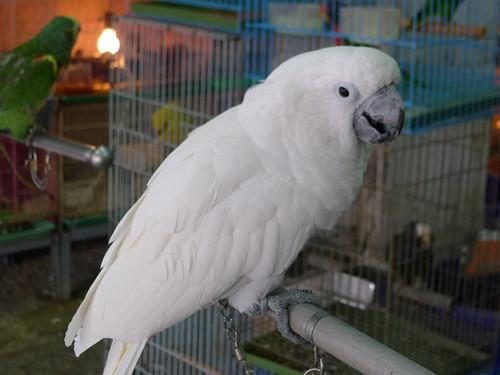 台北鳥街-鸚鵡