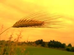 Ear of Corn (valemsk) Tags: verde green nature corn hill natura ear collina grano spiga