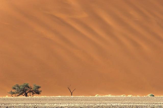 Trees, sand dune - Sossusvlei