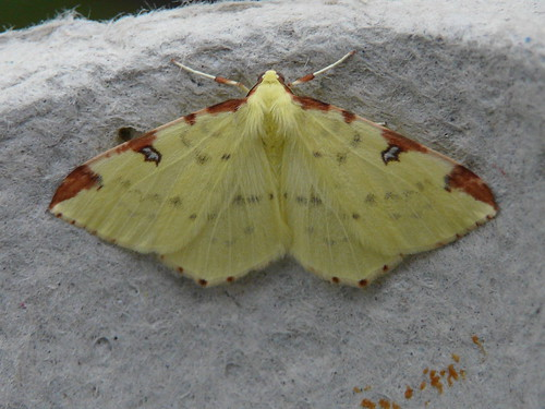 Brimstone Moth (Opisthograptis luteolata) by Peter Orchard