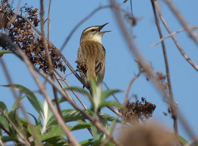 24232 - Sedge Warbler, Radipole Lake
