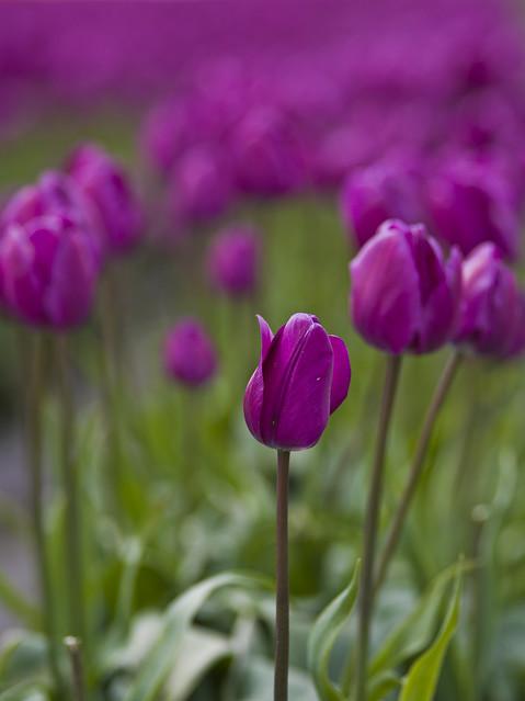 645D Tulips - 2