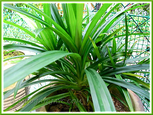 Our potted Pandanus amaryllifolius (Fragrant Pandan) at our backyard kitchen garden